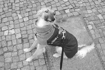 silken-windsprite-merlin-einzel-hund-01