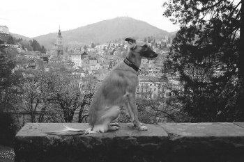 silken-windsprite-merlin-einzel-hund-03