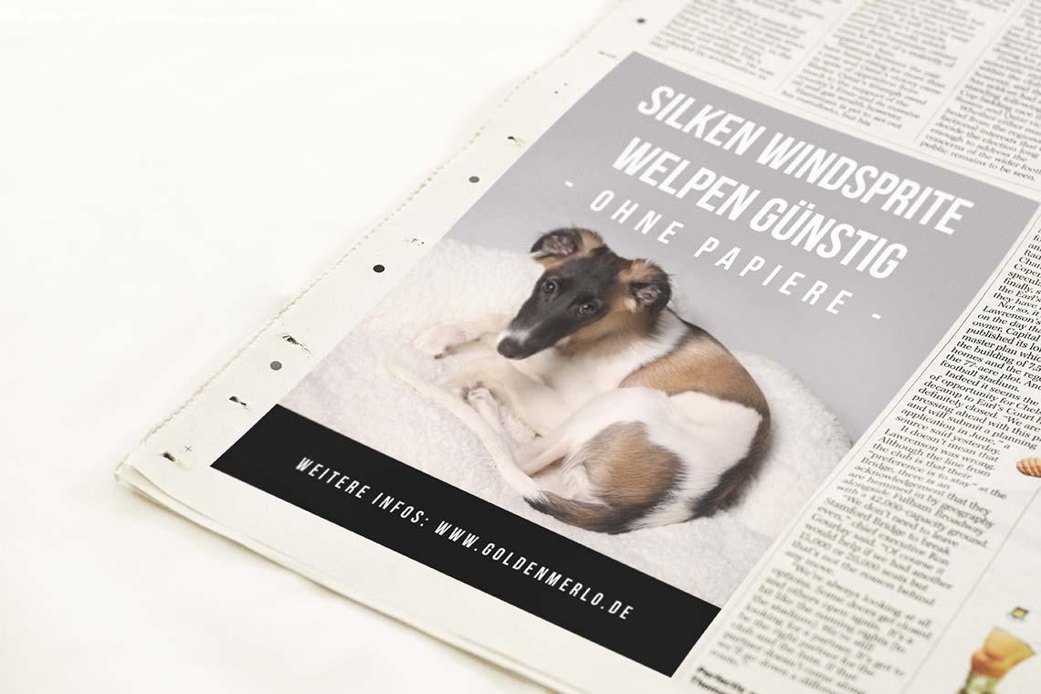 498a6fa711ca25 Silken Windsprite Welpen ohne Papiere   GoldenMerlo Hundeblog
