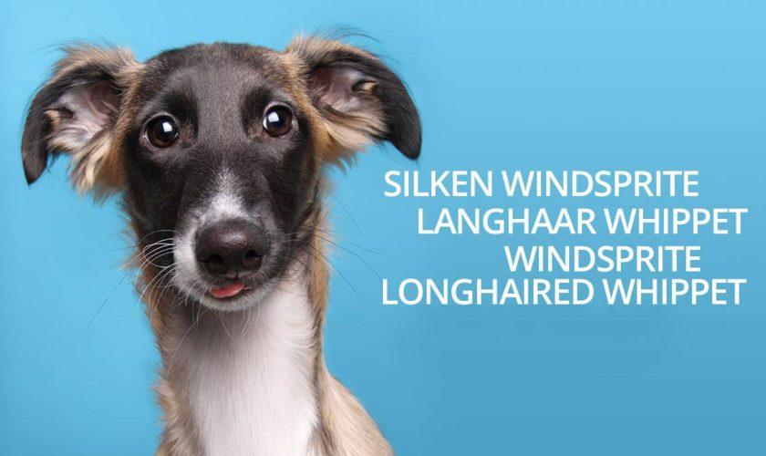 Silken Windsprite oder Langhaar Whippet?