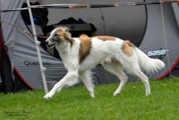 Silken Windsprite Rüde Merlin (Clive a todo correr)