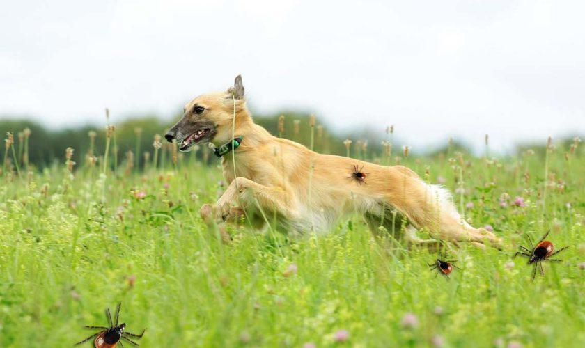 """Achtung Zecken ▷ So schützt Du Deinen Hund!<span class=""""badge-status"""" style=""""background:#"""">[Werbung]</span>"""