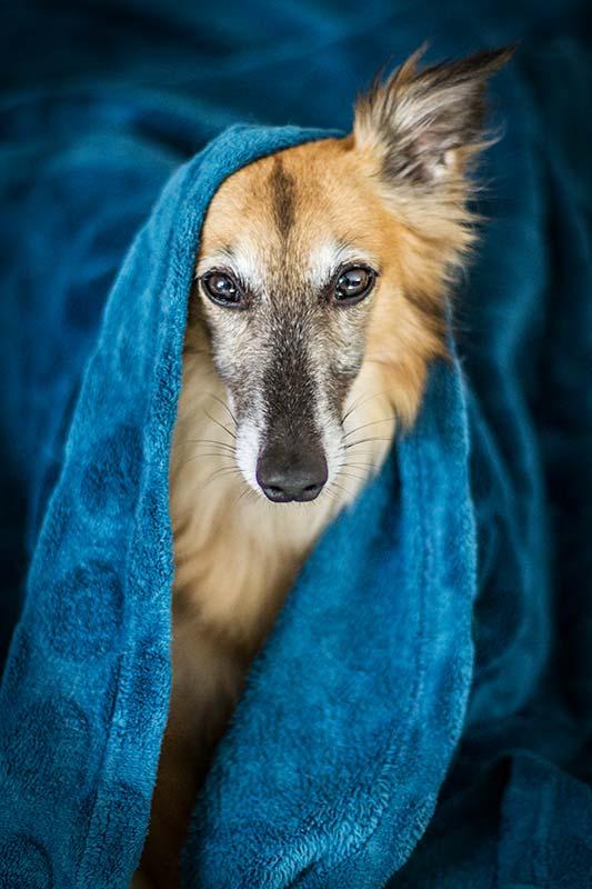 Silken Windsprite Rüde Merlin