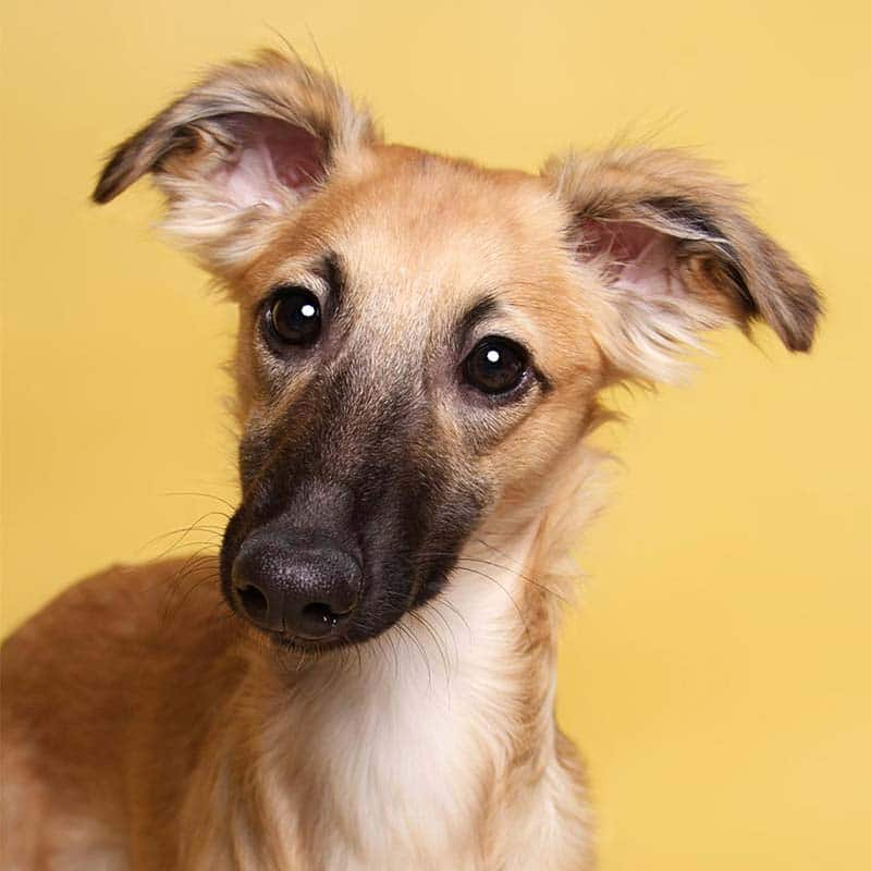 Silken Windsprite Junghund Cooper