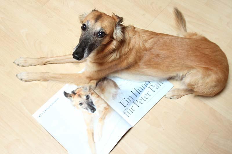 Silken Windsprite Merlin im DOGS Magazin