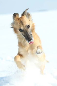 Silken Windsprite im Rasseportrait - GoldenMerlo.de Hundeblog