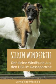 Silken Windsprite im Rasseportrait - Der kleine Windhund aus den USA