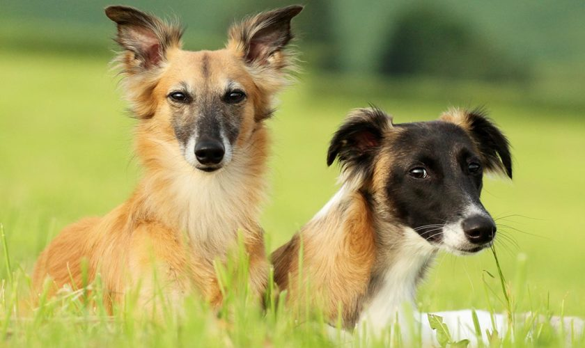 """Juckreiz im Sommer: Grasmilben beim Hund<span class=""""badge-status"""" style=""""background:#"""">[Werbung]</span>"""