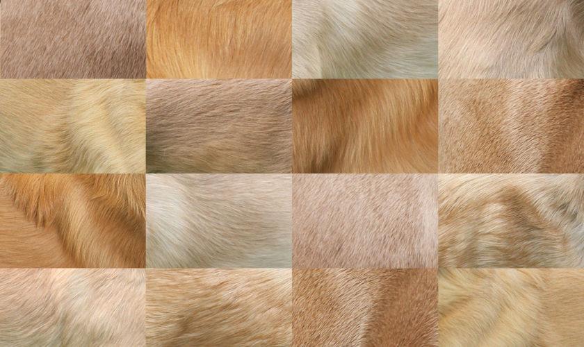 Die Fellfarbe Isabell – und warum es sie (wahrscheinlich) beim Silken Windsprite nicht gibt